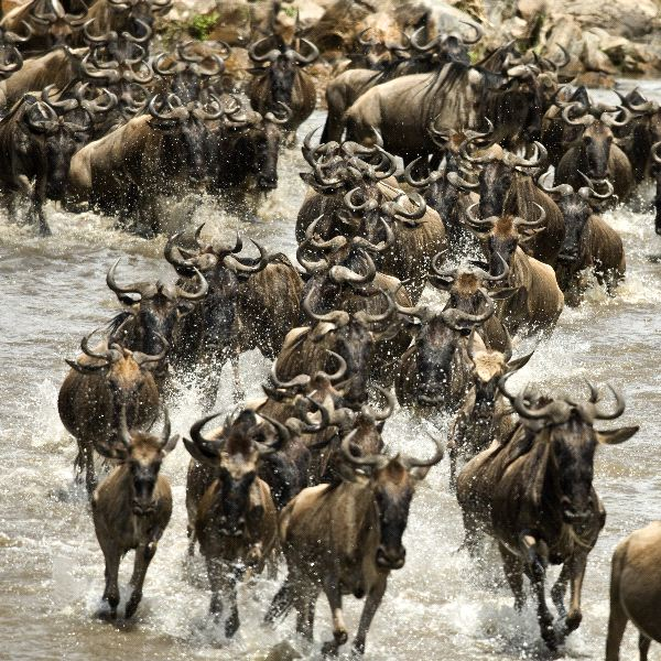 Wildebeest Information