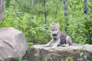 Wolf Cub Facts