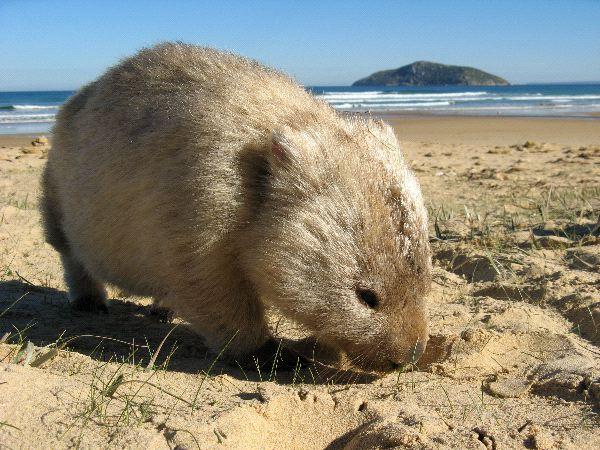 Wombat Information