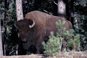 Wood Bison Information