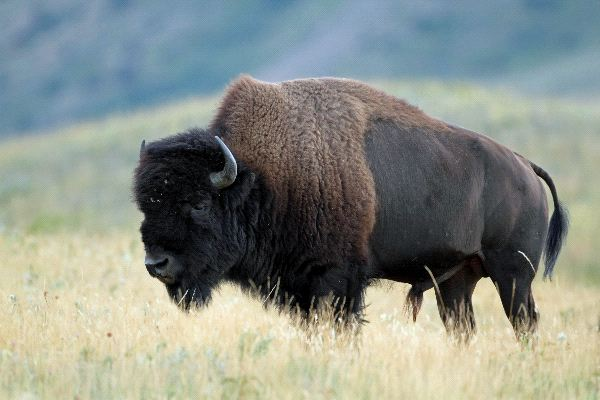 Wood Bison Information