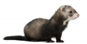 Black Footed Ferret Facts