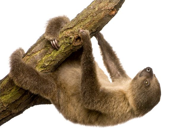 Two-Toed Sloth - Genus: Choloepus