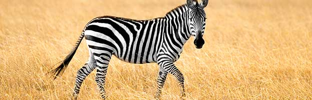 zebra animal facts and information