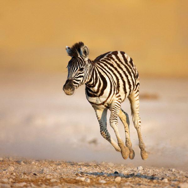 Zebra - Genus: Equus
