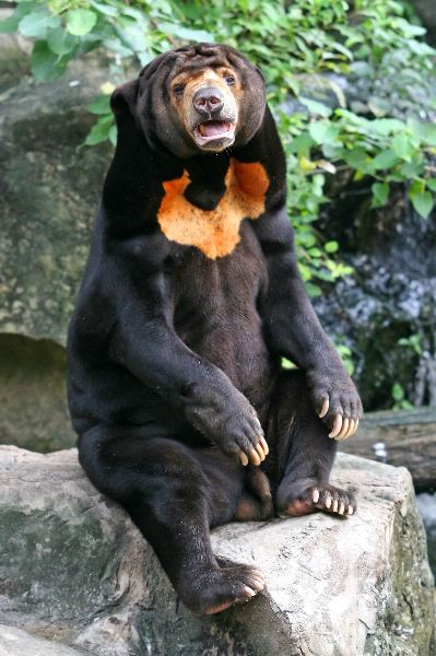 Malayan Sun Bear Facts