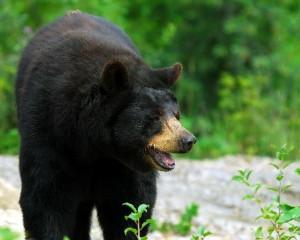 American Black Bear Information