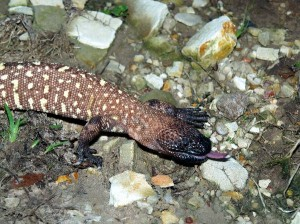 Beaded Lizard Information