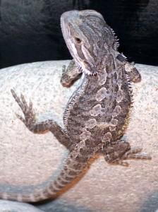 Lizard Physical Characteristics