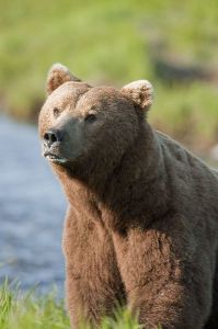 Brown_Bear_-_Grizzly_Bear_600