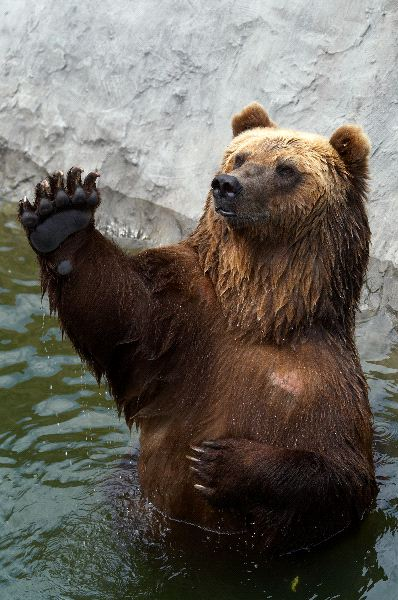 Brown bear - Animal Facts and Information