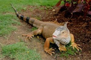 Brownish Green Iguana