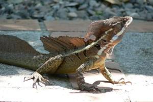 Common Basilisk Facts