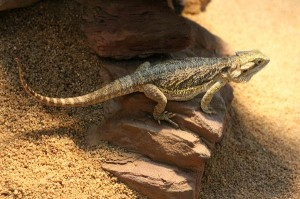 Desert Iguana on Rock - Facts and Information