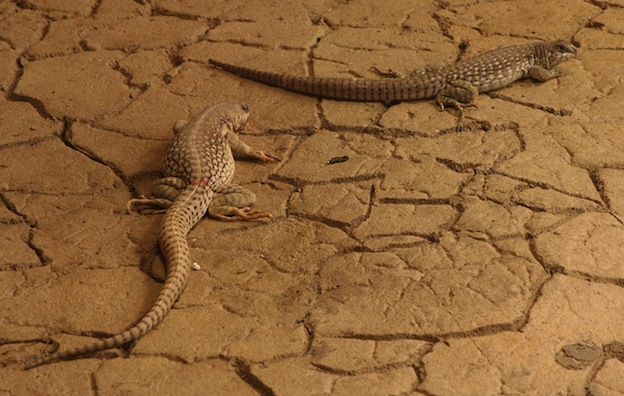 Desert Iguana Facts