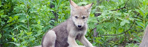 Eurasian Wolf Cub