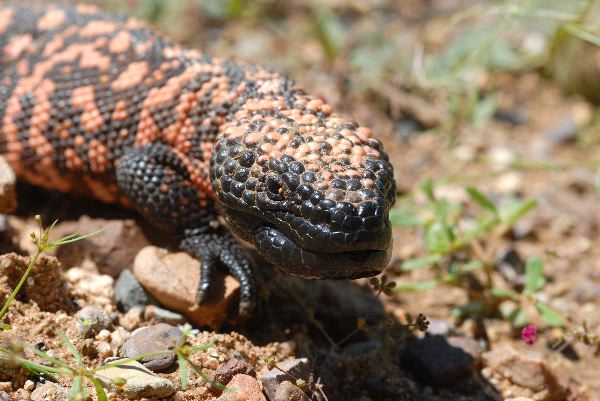 Gila Monster Information