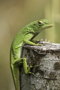 Green Anole or Carolina Anole Facts
