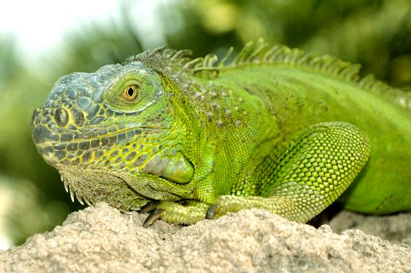 Green Iguana Facts
