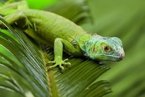 Green Iguana Lizard - Lizard Facts