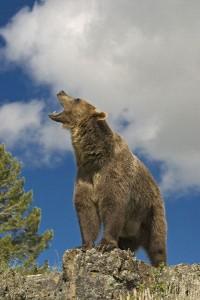 Bear Communication