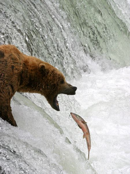 Kodiak Bear Information