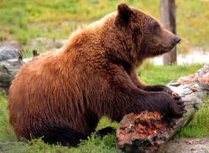 Kodiak Bear Facts