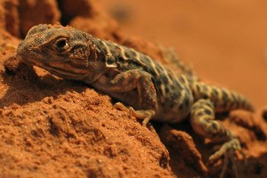Leopard Lizard Facts