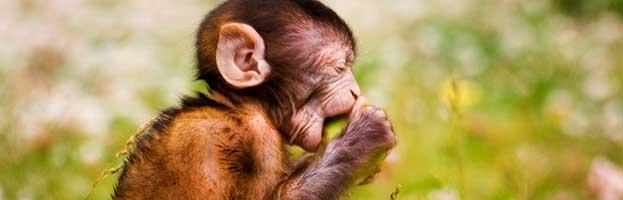 Macaque Infant