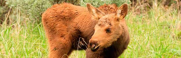 Moose Calves