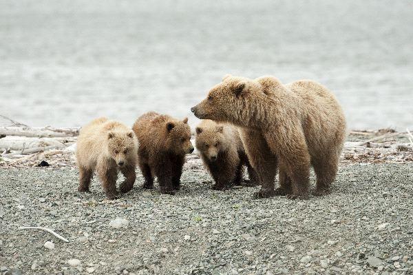 Bear social behavior