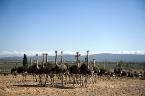 Ostrich Social Structure Facts