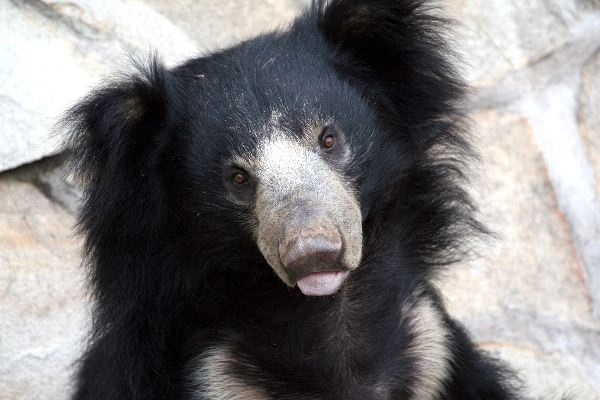 Sloth Bear Information