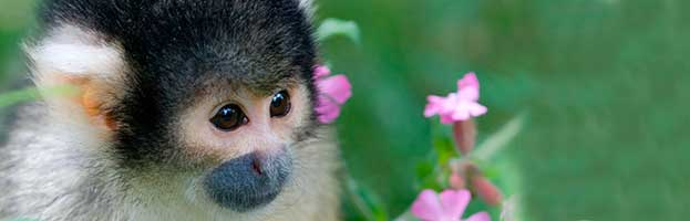 Squirrel Monkey Infant