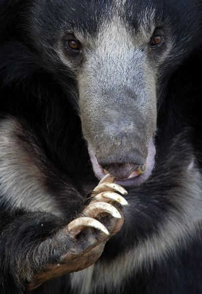 Sloth Bear Facts