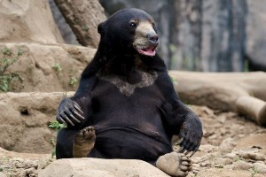 Sun Bear Sunbathing