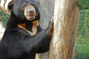 Sun Bear in Zoo