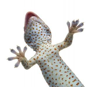 Gecko Facts -Tokay Gecko