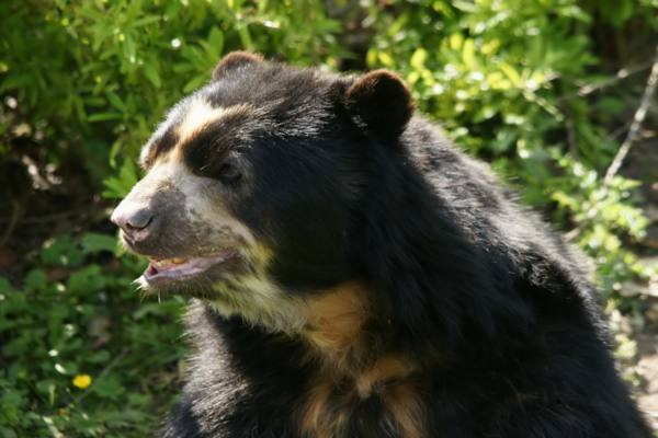 Spectacled Bear Information