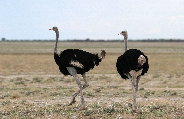 Two Ostrich Moving
