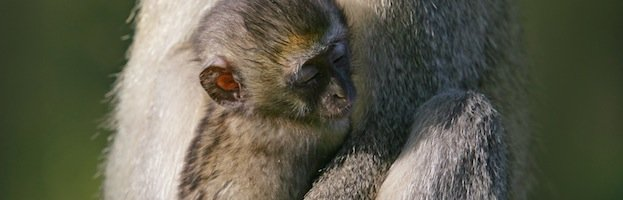 Vervet Monkey Infant