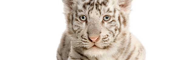 White Siberian Tiger Cub