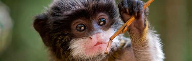Emperor Tamarin Infant