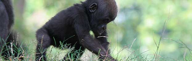 Gorilla Infant