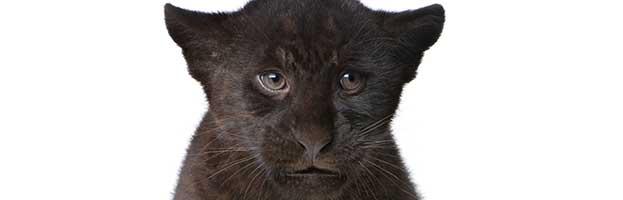 Jaguar Cub