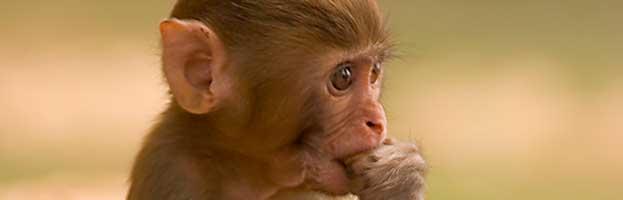 Monkey Infant
