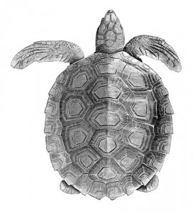 Flatback sea turtle Information