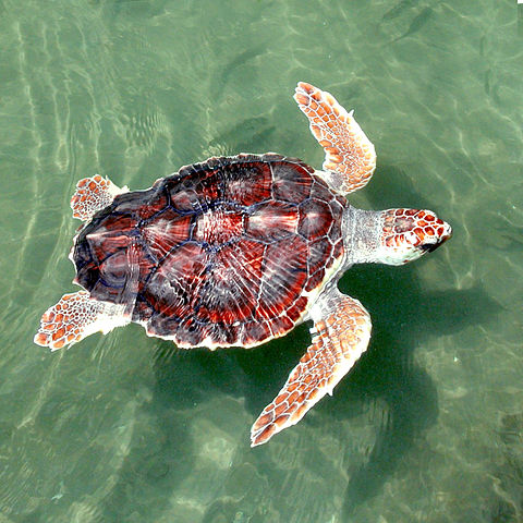 Loggerhead sea turtle - Caretta caretta