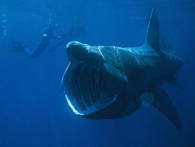 Basking Shark - Cetorhinus maximus