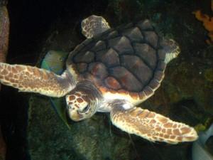 Loggerhead sea turtle Facts